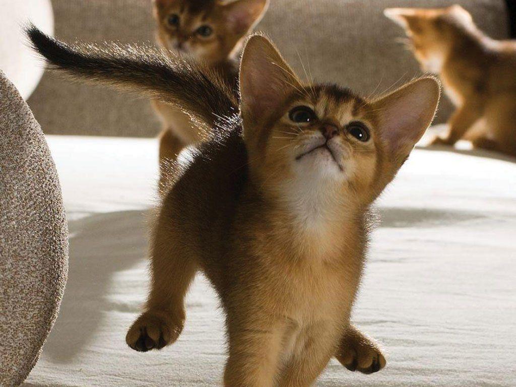 Gato abissínio ainda filhote
